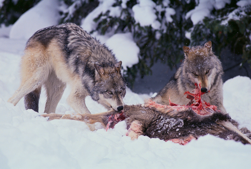 Pair Of Wolves At Deer Carcass