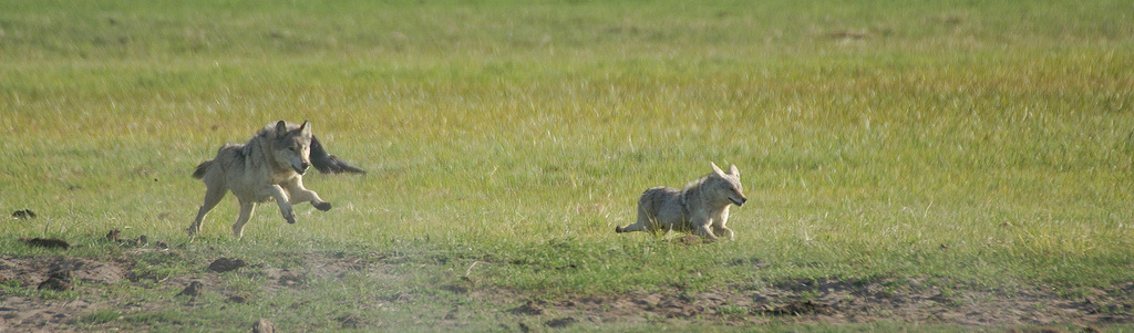 wolf chases coyote